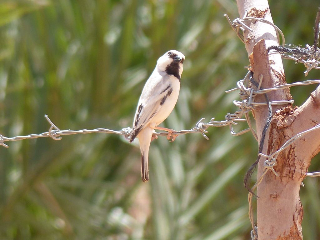Desert Sparrow photographed in #Morocco Aren't birds brilliant!<br>http://pic.twitter.com/lGg9vil58A