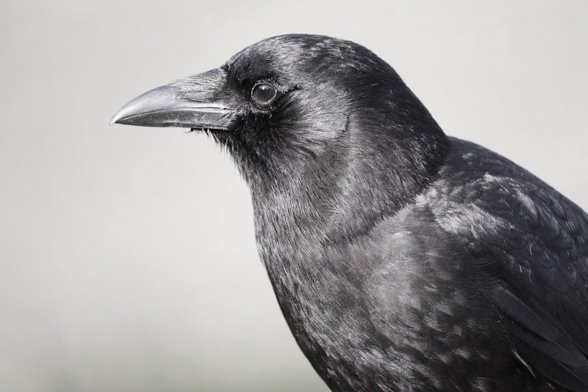 RT @Crowtographer: #crowtograph #crowportraits #Nanaimo #birds https://t.co/431Befrftq