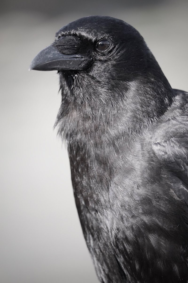 RT @Crowtographer: #crowtograph #canyoumakemelooktall #birds #Nanaimo https://t.co/Vs1HIzM1M9