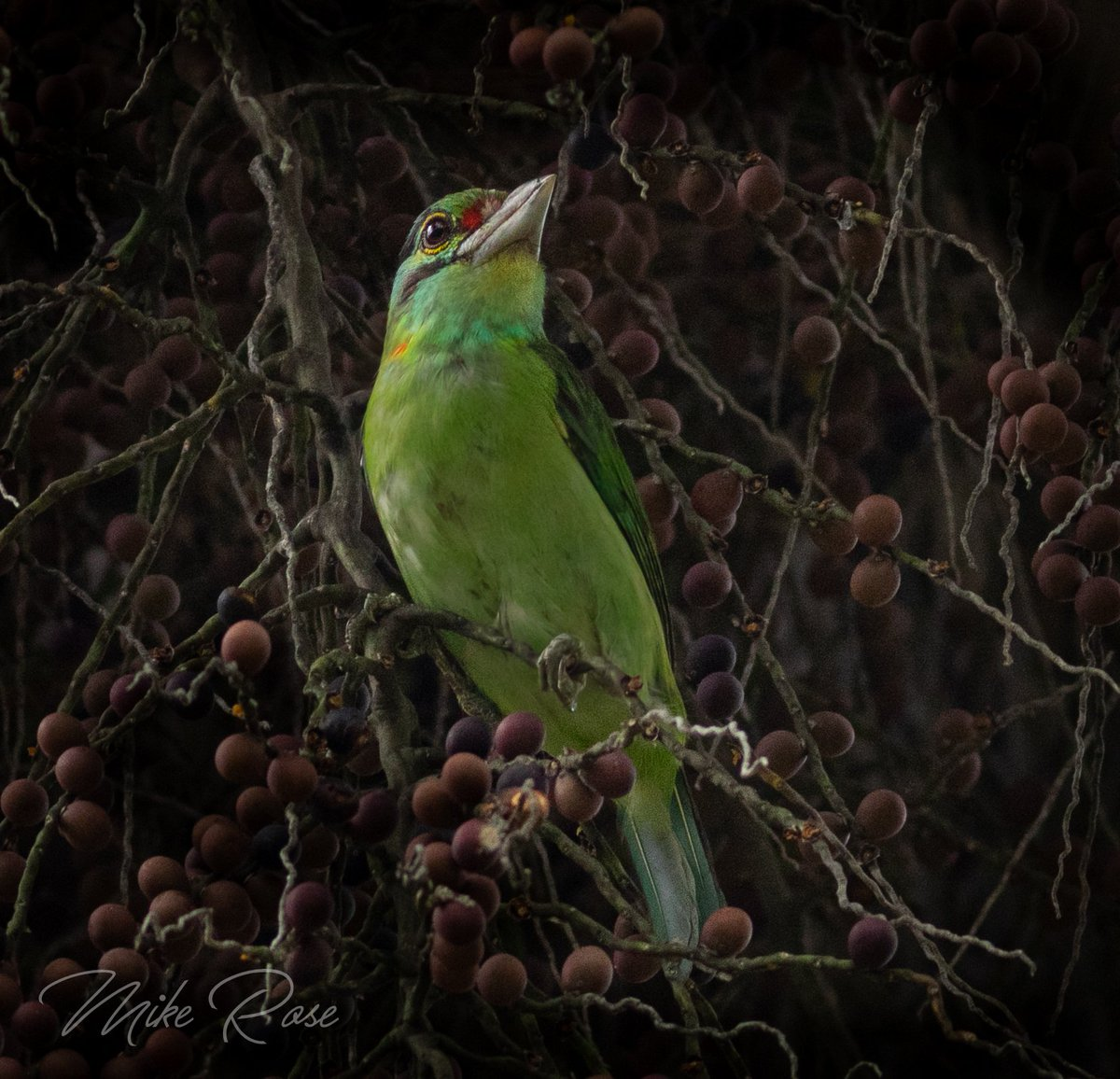 Moustached Barbet in a tree feeding on some sort of fruit. Also in a very dark place! Tat Mok NP Phetchabun Thailand. @Avibase<br>http://pic.twitter.com/q8Uute11OM