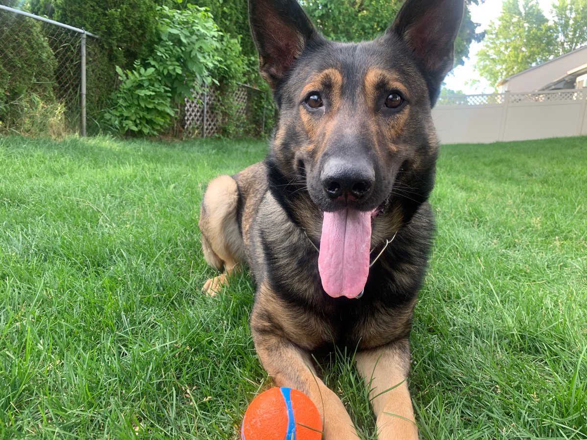 I don't care what anyone says. I know K9 Alex is the best looking K9 on Twitter(Biased opinion) #INIA2020 #LivePD #LivePDFans #LivePDNation #EquiparacionYa #ILPJusapol #Police #Policia #K9 #K9OfTheDay #TongueOutTuesday #TuesdayMorning #TuesdayMotivation #WarOnDrugs #Seguridad<br>http://pic.twitter.com/ns6Wlwd4w5