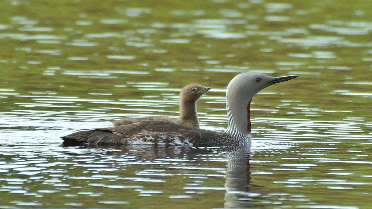 Red-throated Diver with chick (1 of 2),Blackcap,Eider Ducklings and Spotted Flycatcher...4 photos from the weekend...Isle of Bute #birding #ilovebute<br>http://pic.twitter.com/Tx127RYdZK