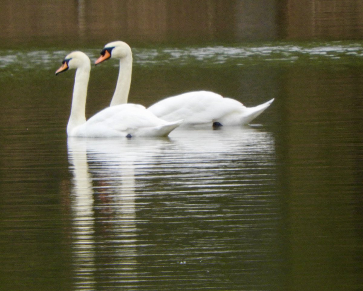 Swans - forever a symbol of love #birds #swans #love #photography #photooftheday https://t.co/hPeuEsiiHh
