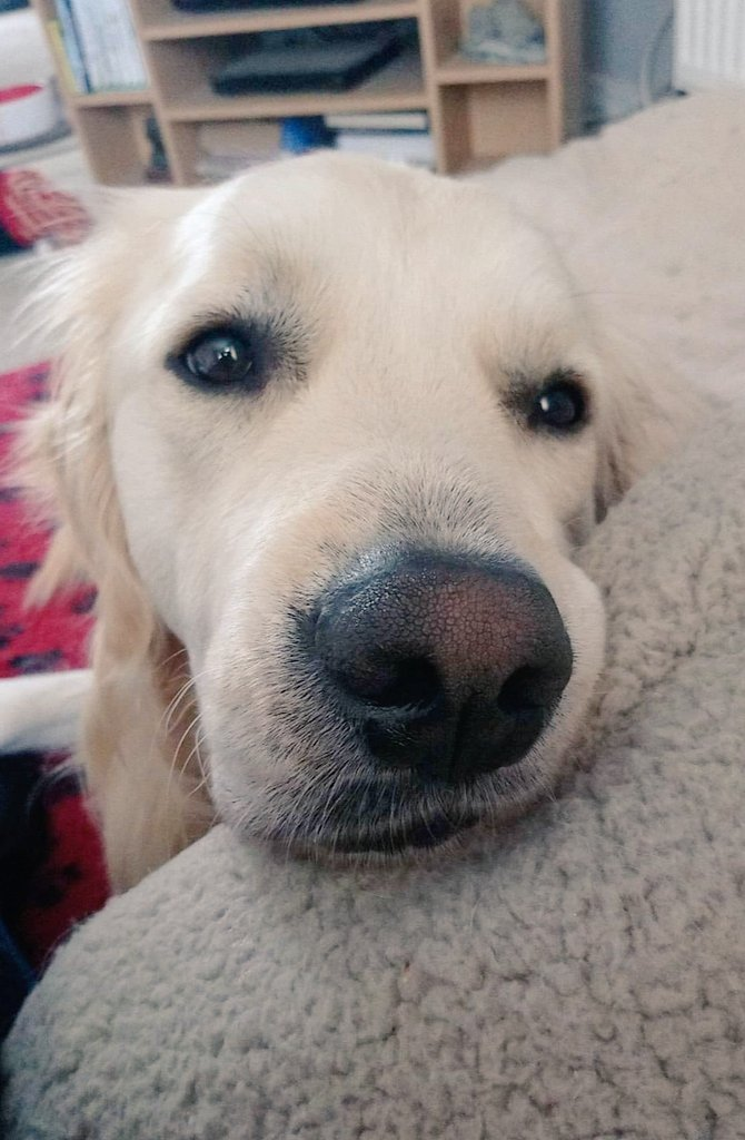 You have a bagel. I like bagels. #GoldenRetrievers #needfood #dogsoftwitter <br>http://pic.twitter.com/uobjqC94LJ