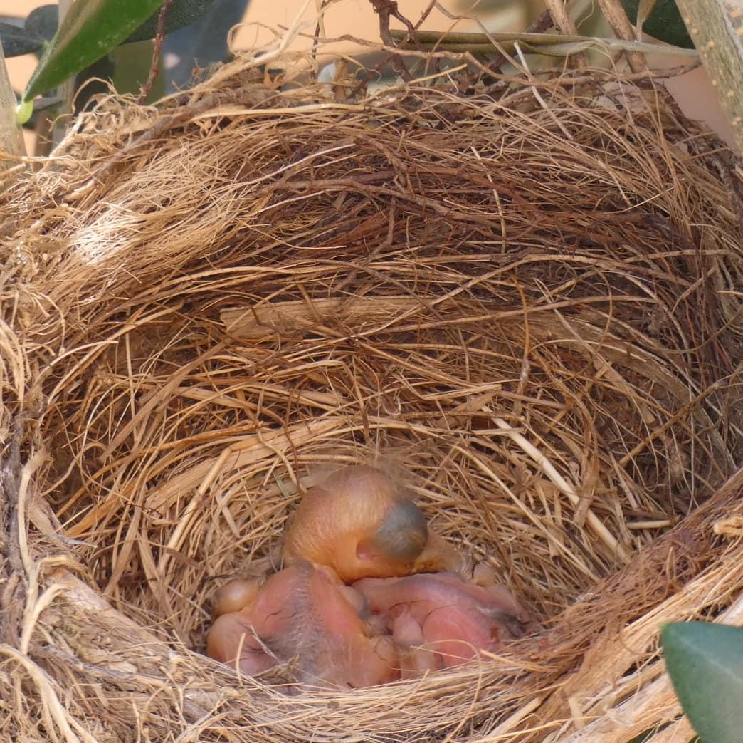 #blackbird #birds #family #nature #NaturePhotography Two little newly born birds ... 😍 https://t.co/DgxXhEeeTr