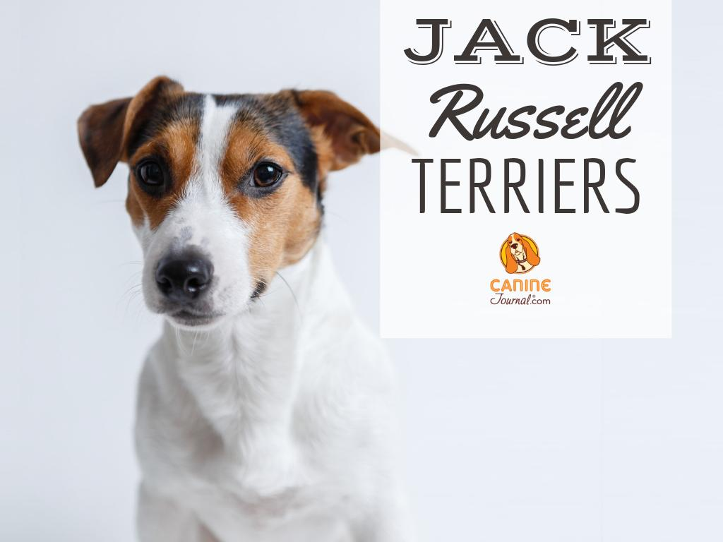 The #JackRussellTerrier is a small #dog with a particularly big attitude. Learn all about the history of this hunting dog and how they got their personality  http:// bit.ly/2IE7t7J     <br>http://pic.twitter.com/NvfcCfNsHe