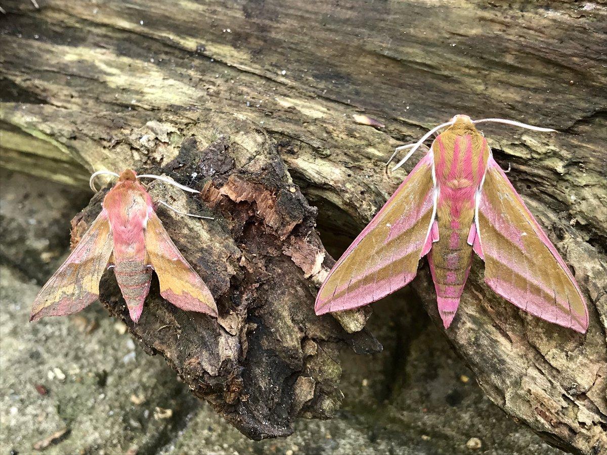 Essex.Brightlingsea. Small Elephant Hawk-moth and Elephant Hawk-moth + Eyed Hawk-moth. <br>http://pic.twitter.com/aIGM8xc5r7
