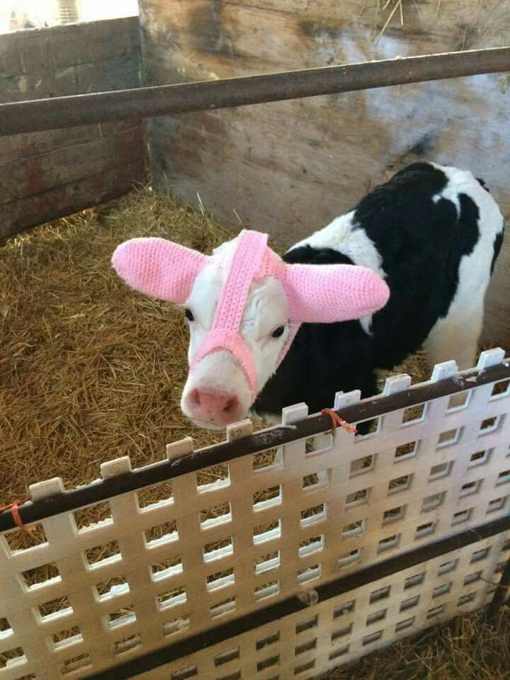 So it turns out ear muffs for calves to stop them getting frostbite are a real thing... <br>http://pic.twitter.com/KiiAbTaRYV