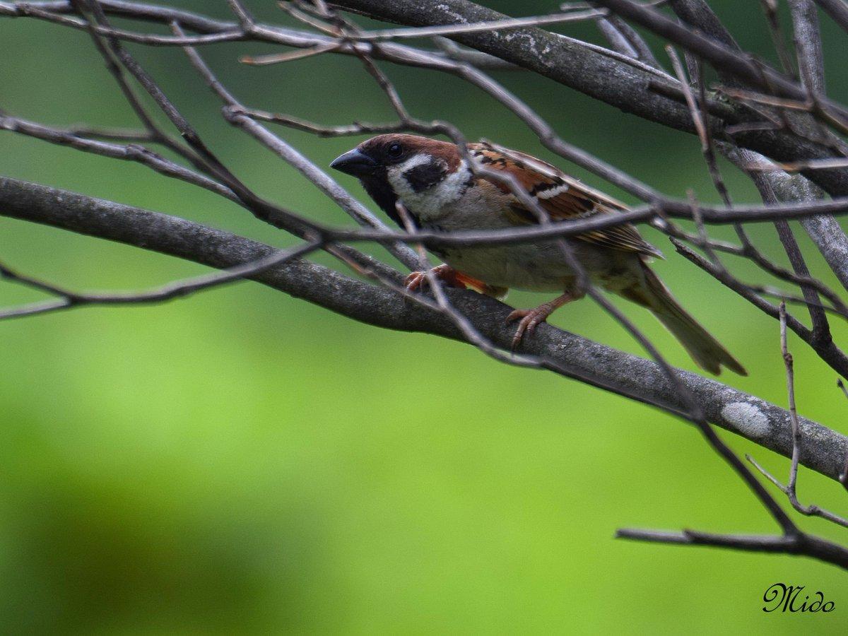 Eurasian Tree Sparrow #birds #wildlife 2.6.2019 <br>http://pic.twitter.com/GoulZZAv6s