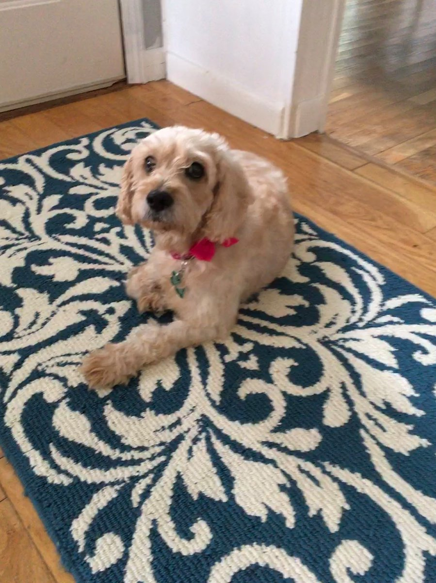 Pupdate! I adopted Dolly the puppy mill rescue. She loves walks and being brushed - still figuring out what toys are. We're both now living our best life. #RESCUE #rescuedog @dog_rates<br>http://pic.twitter.com/E4D1p9UZgW