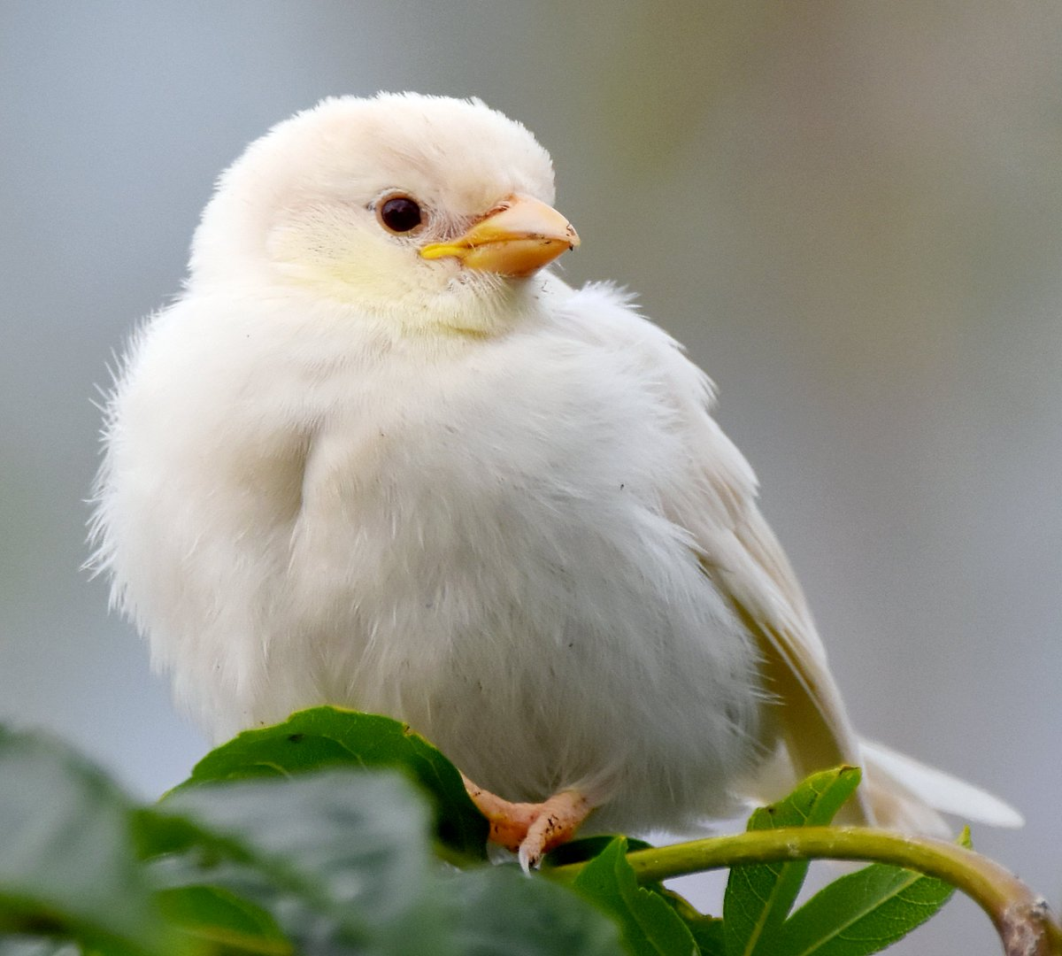 Who remembers my white Albino House Sparrow?   It's just over a year since it made National and International news after my 8 year old daughter spotted it in our Somerset village & told me about it!   Of course, I went out to try & find & photograph it!   https://www. dailymail.co.uk/sciencetech/ar ticle-5804499/The-one-million-bird-Rare-albino-house-sparrow-spotted-Somerset.html  … <br>http://pic.twitter.com/2QPrJCqSn2