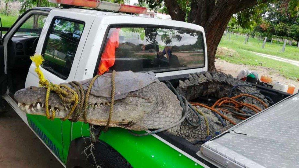 Así fue como Protección Civil de Oaxaca logró asegurar a cocodrilo de 3 metros y medio de largo a las orillas del Río Grande (FOTOS) http://bit.ly/2Rxu3j5