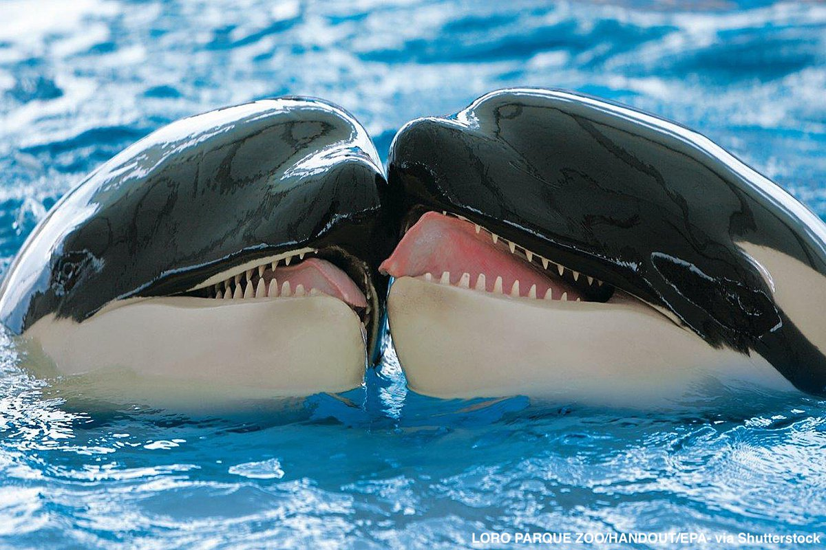 Two orcas touch in what a new study says is killer whales' method of making up after an argument.  https:// abcn.ws/2Ndh9bx    <br>http://pic.twitter.com/Y9IHRncvME