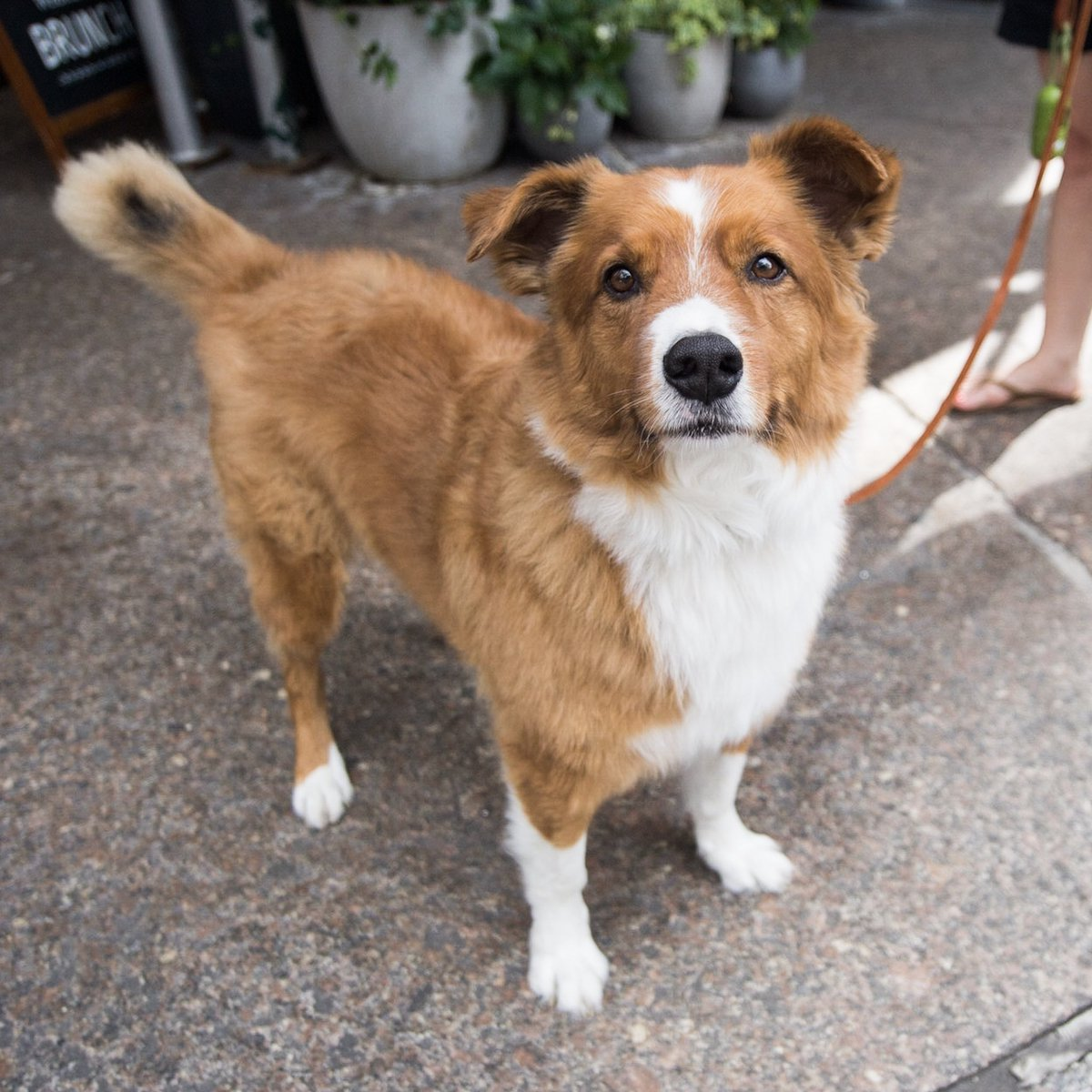 "Sidney, Shepherd/Corgi mix (6 y/o), West 4th & Barrow St., New York, NY • ""He sleeps all day and then parties real hard when he sees a toy."" <br>http://pic.twitter.com/W6nhTRrWJE"