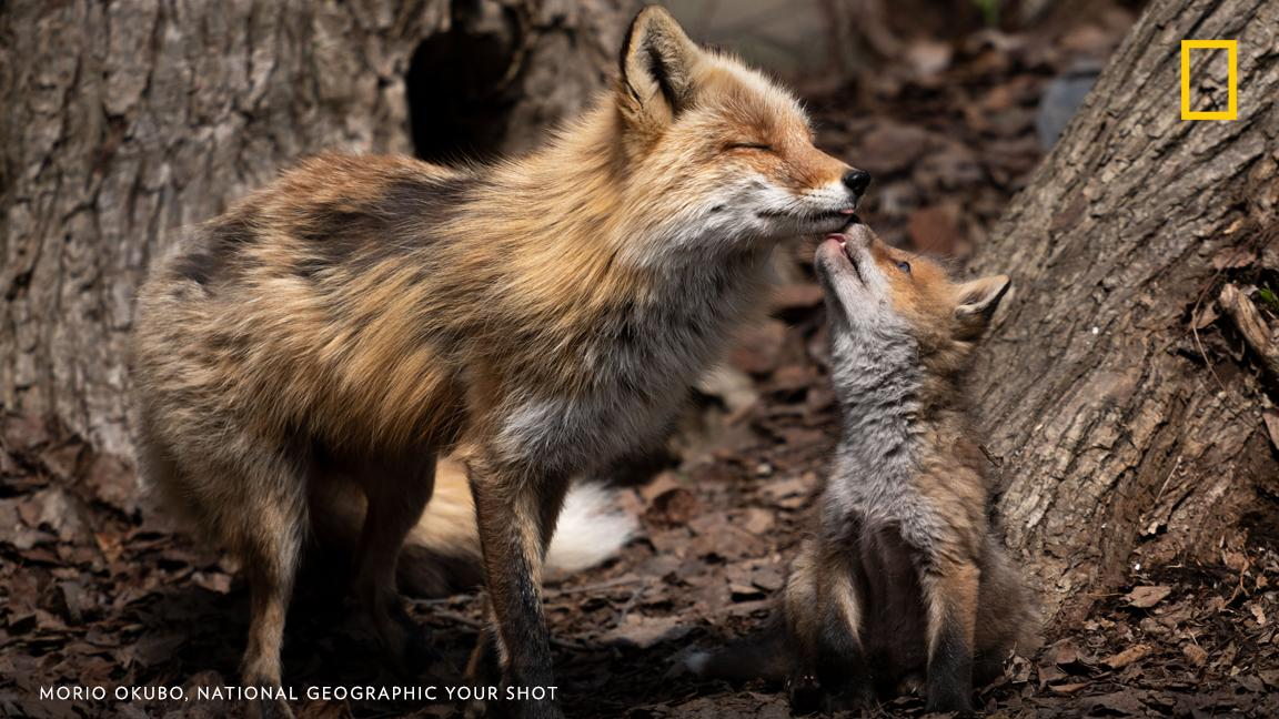 A fox kit shows affection for its mother in this sweet image captured by Your Shot photographer Morio Okubo in Asahikawa, Japan https://on.natgeo.com/2XNBzsq
