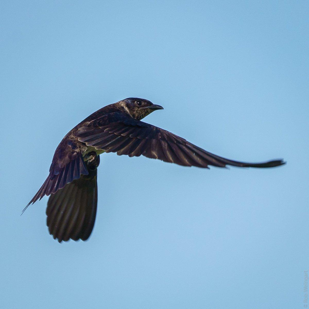 Purple Martin Fly-By- #InFlightFriday  #purplemartin #swallow #eyecontact  #wildlife #wildlifephotography #birding https://t.co/zMMB818nK4