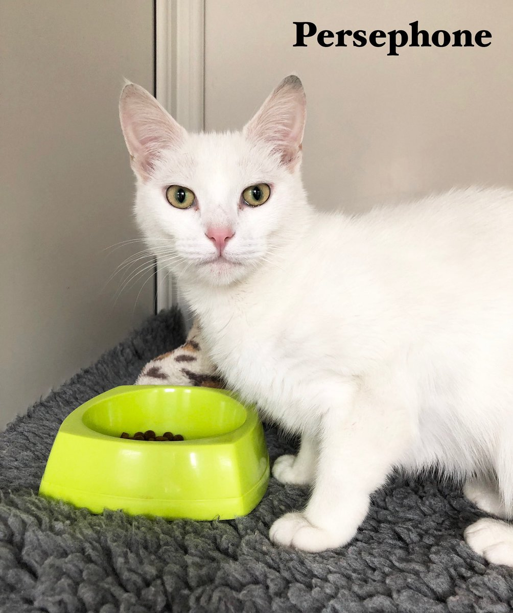 It's #friyay and new arrival Persephone has come to say hello. Some of us had trouble with the pronunciation so she's affectionately becoming known as Percy Phone  She's not only very beautiful but is very friendly. She's bound to find a new family quickly  <br>http://pic.twitter.com/2H9BhOB5bH