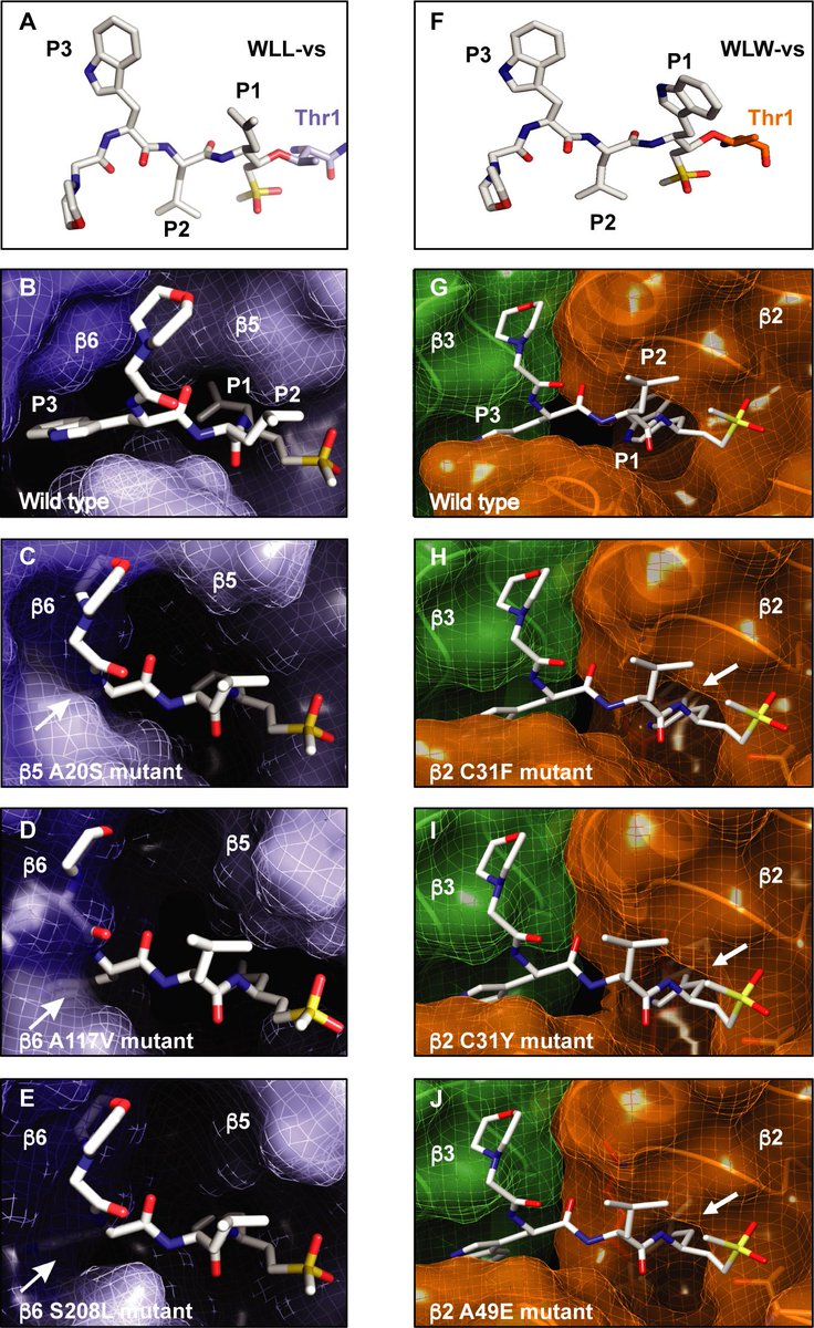 Covalent #Plasmodium falciparum-selective #proteasome inhibitors exhibit a low propensity for generating resistance in vitro and synergize with multiple antimalarial agents: Barbara Stokes et al.  https://journals.plos.org/plospathogens/article?id=10.1371/journal.ppat.1007722… #malaria #protists
