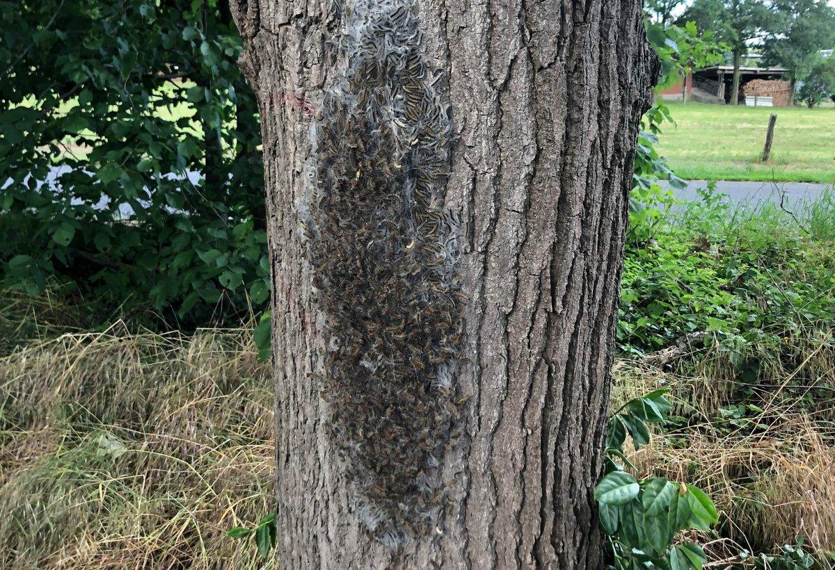 Achtung ungesund: Der #Eichenprozessionsspinner breitet sich immer stärker in den Wäldern des #RVR aus. Befallenen Eichen bitte unbedingt ausweichen. Die betroffenen #RVR-Waldgebiete und Tipps für das richtige Verhalten im Wald von #RuhrGrün unter http://www.rvr.ruhr
