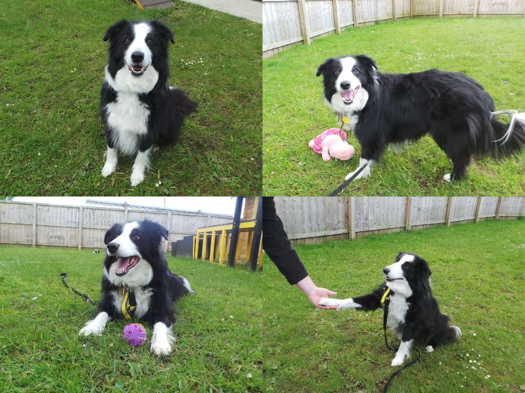Its Friday and Bailey cant wait for the weekend!🎉🐾#fridayfeeling #adoptdontshop #rescuedogs #rehome #playtime