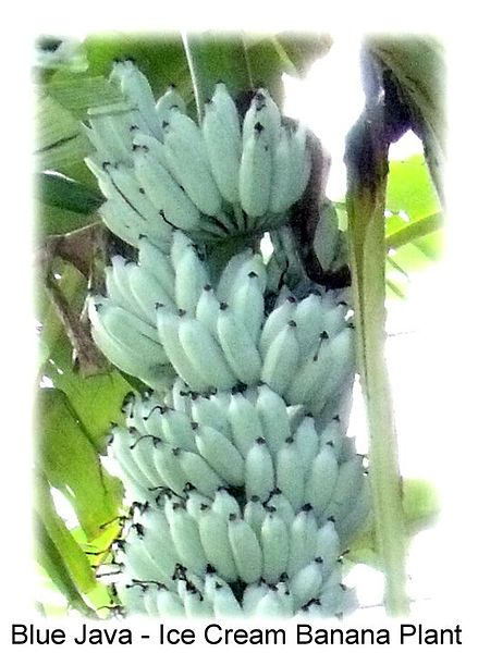 There is a species of blue banana that tastes like vanilla ice cream.