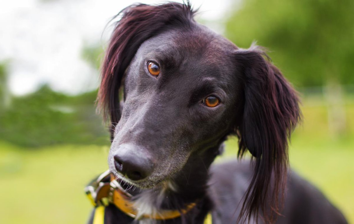 Just look at that face! 😍 This is Joey, a sweet Saluki who can play like a puppy one minute, then snooze on your lap the next! 💤 Find out more about Joey at @DT_Norfolk 👉 fal.cn/sVox