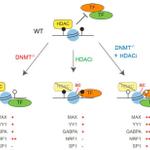 Image for the Tweet beginning: Distinct contribution of DNA methylation