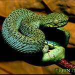 Image for the Tweet beginning: The most venomous snakes in