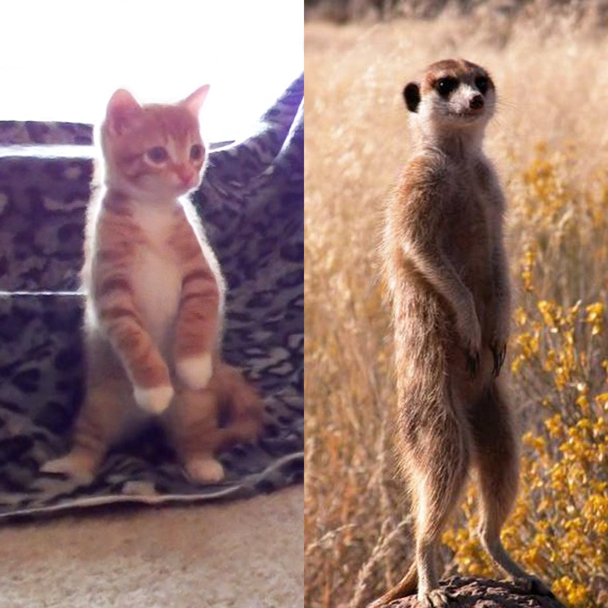 Flashback to when Marmalade did his first meerkat impression, not bad right? The but the real question is, which one is cuter? :) #FlashbackFriday #MarmaladeMeerkat<br>http://pic.twitter.com/JPYcFsL4qZ