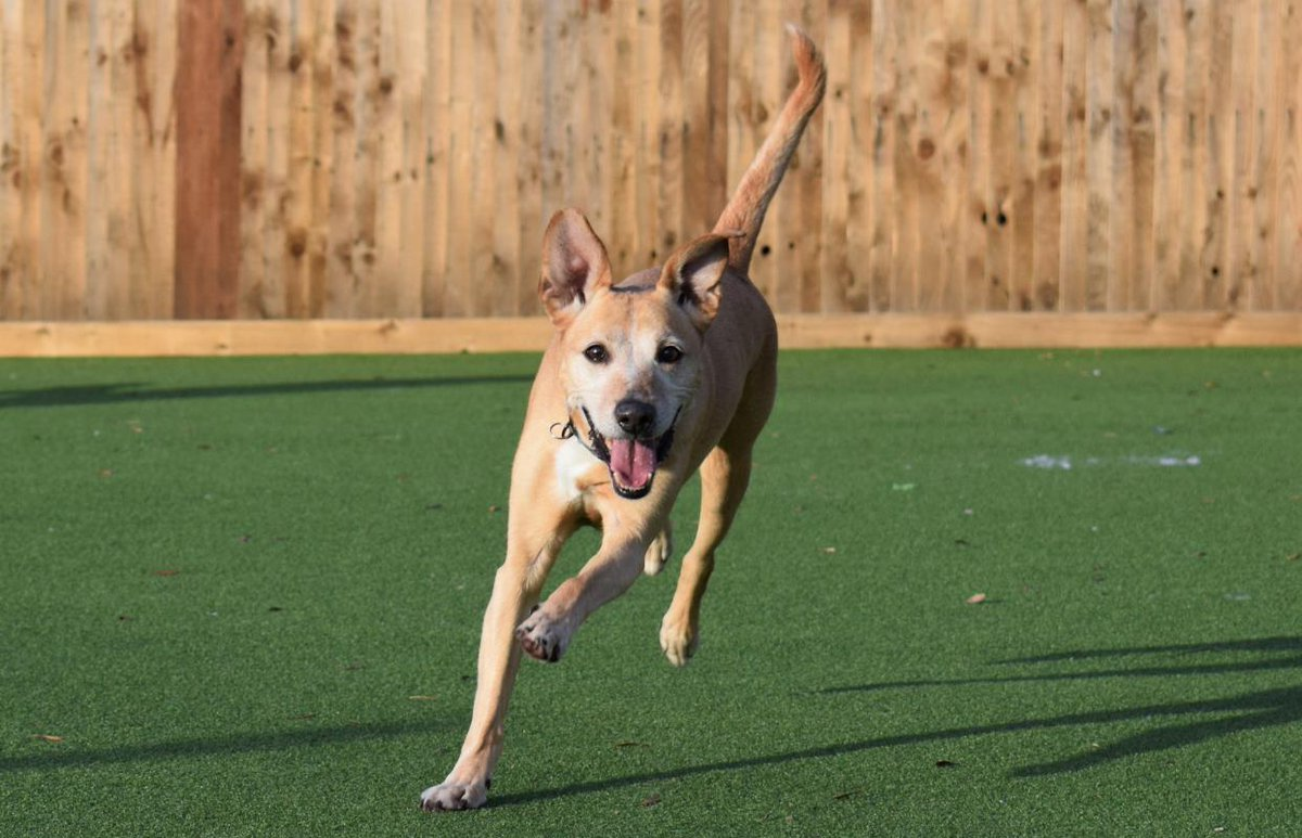 Running into the weekend like... Ollie is a sweet, intelligent and lively boy who would love a quiet home with a secure garden. Given the chance, Ollie will make a great companion 💛 Could you give Ollie a home? Ollie is at @DT_Glasgow 👉 fal.cn/sVGa