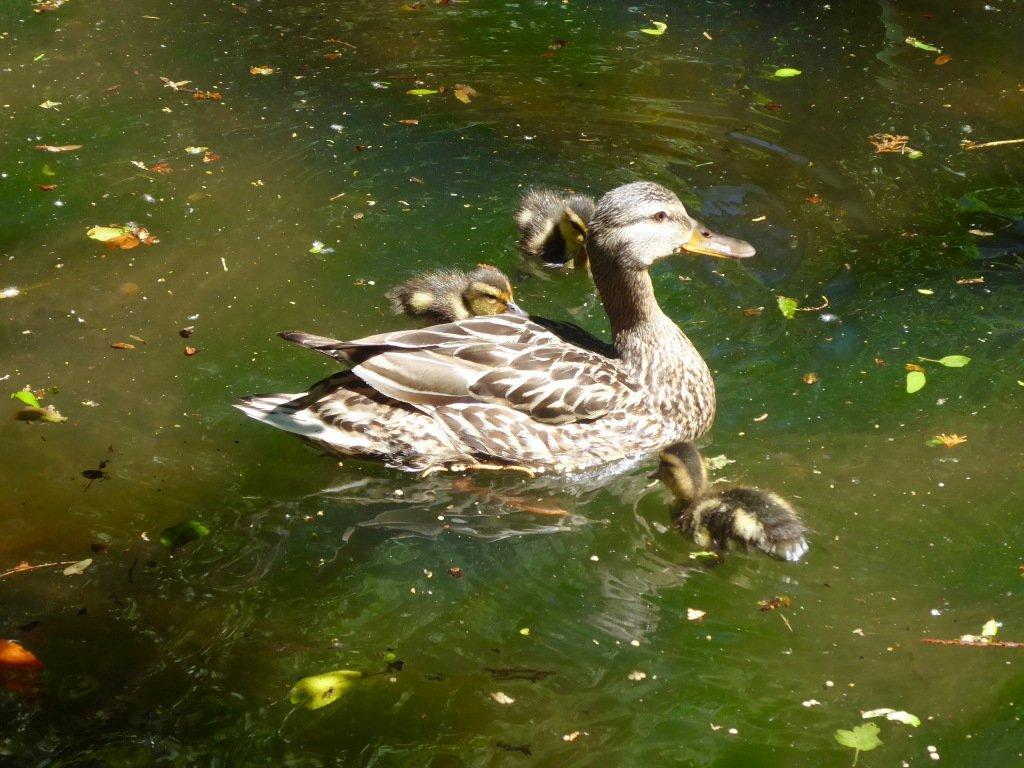Friday: Duck report https://whyevolutionistrue.wordpress.com/2019/06/14/friday-duck-report-10/…
