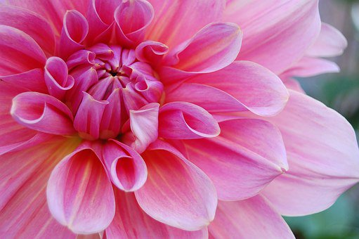 This week's post is about flowers in my favorite color, pink! Check out some pink flowers you can add to your garden here:  https:// bloominganomaly.com/giving-your-ga rden-a-touch-of-pink-flowers/  …  #FridayFeeling #Pink #Flowers #Friyay #bloggerstribe #retweet<br>http://pic.twitter.com/AX5HbhtfMX