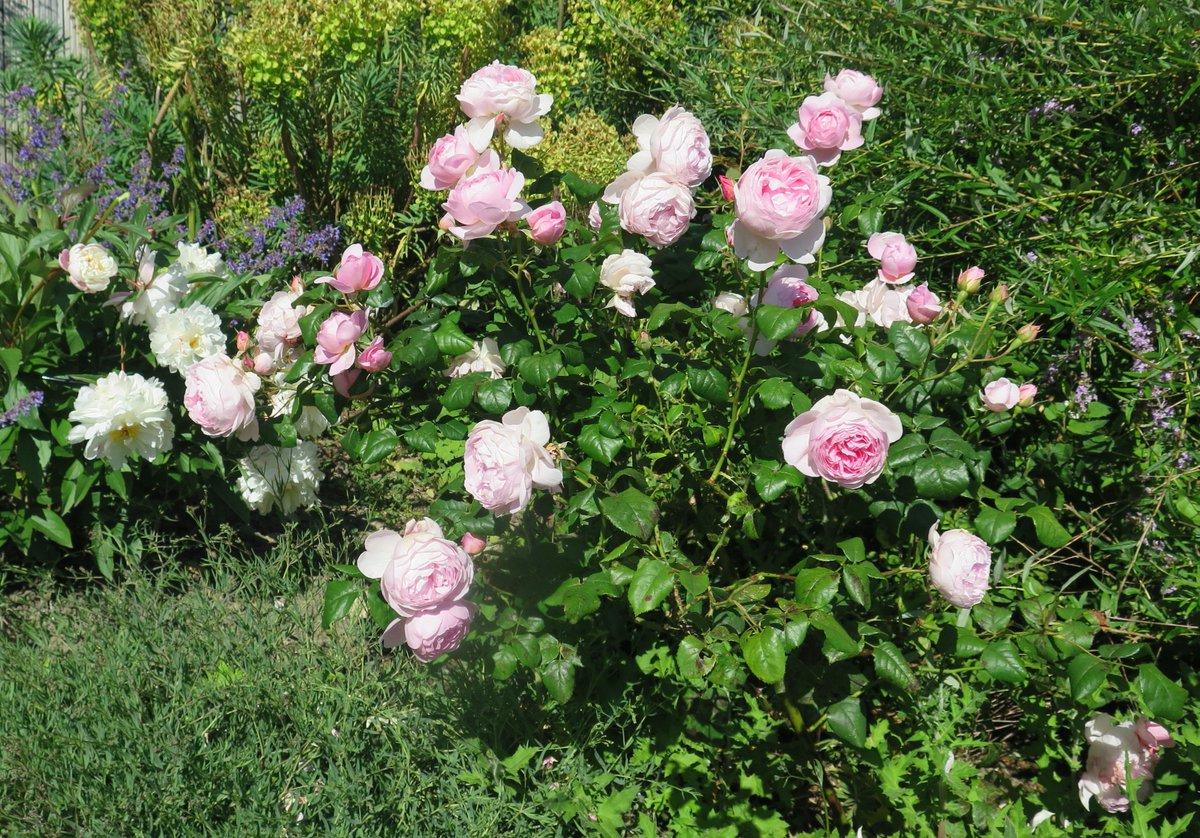 My garden today. #GardenOfKent #peonies #roses @KittyRaindroppic.twitter.com/Z8A2xVyhRQ