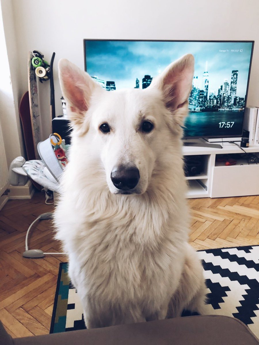 This is the look I get to realize it is the time to stop working on @OfBroadcast and go for a walk. Meet Walter White. #indiedev #gamedev #ministryofbroadcast #dog #GoTFinale <br>http://pic.twitter.com/1TWLMnO4hX