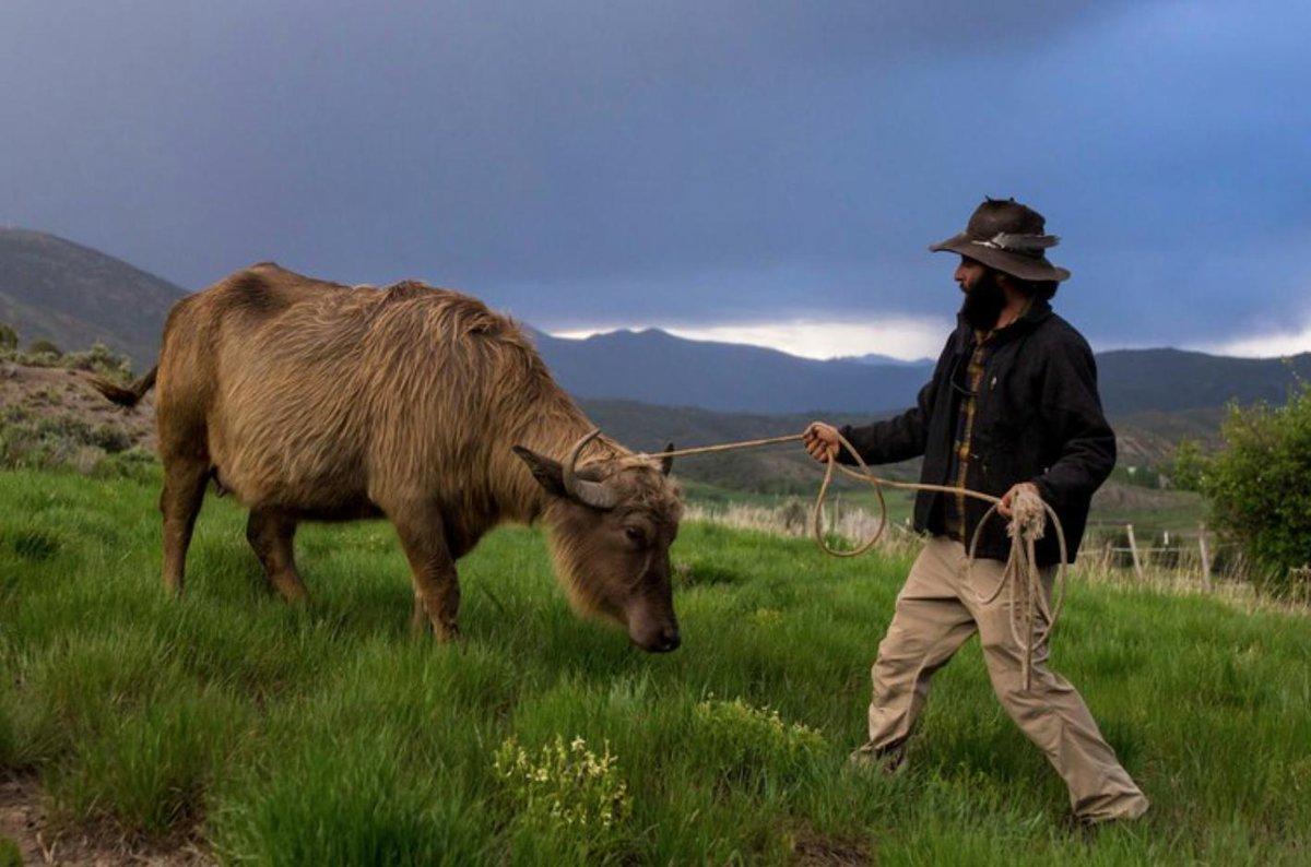 One rancher's plan to establish water buffalo in Colorado: hcne.ws/2WHSG28