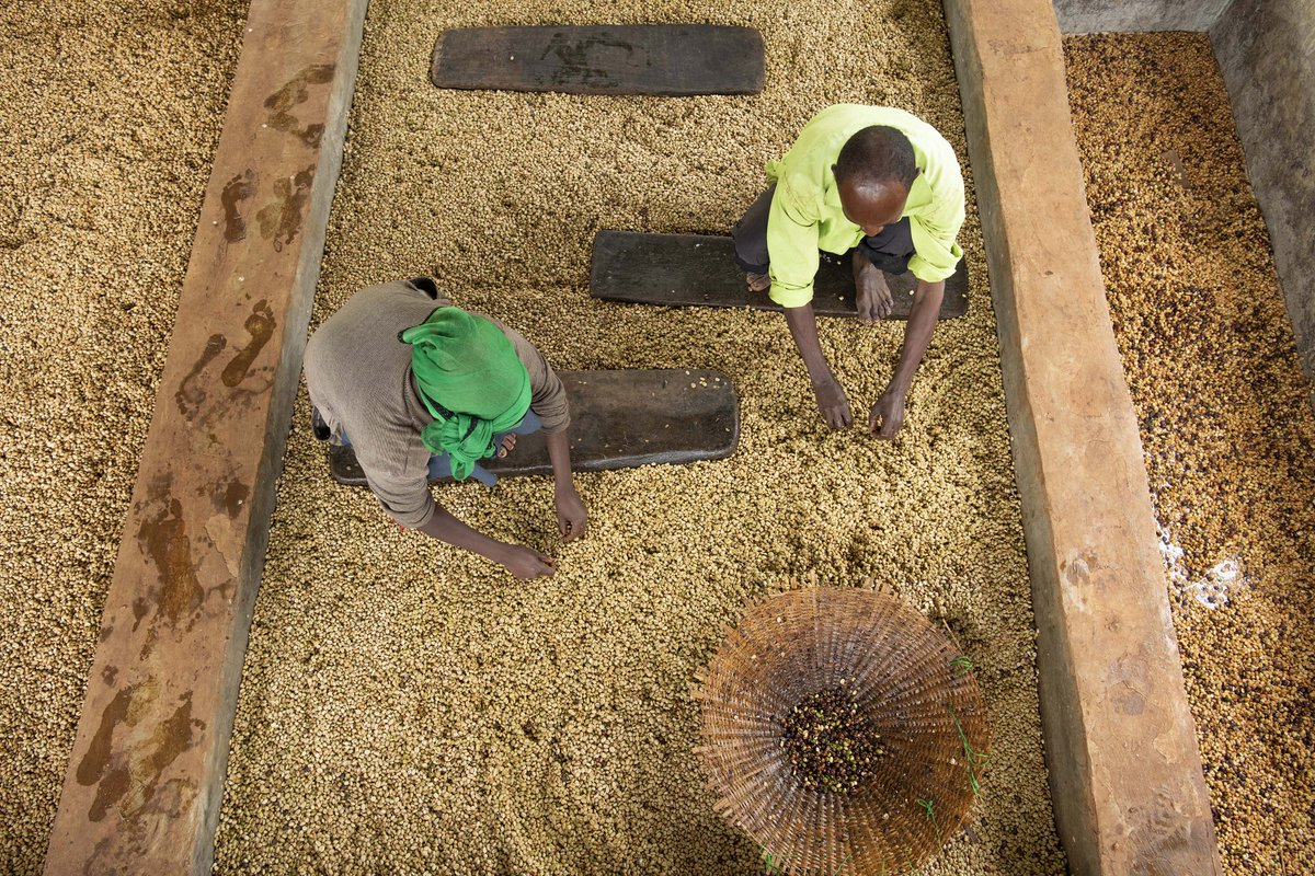 Ethiopian Crown Jewels are hitting the shelves. Fresh, floral, crisp, and organic certified - get the Homacho Waeno delivered directly to your doorstep: royalcoffee.com/cjo1285 #royalcoffeeinc #greencoffee #opensourcecoffee #specialtycoffee #ethiopiancoffee #organic