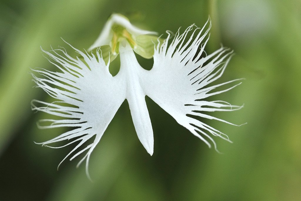 White egret flower: The orchid with wings #BeijingExpo #HorticulturalExpo https://bit.ly/2FayXgG