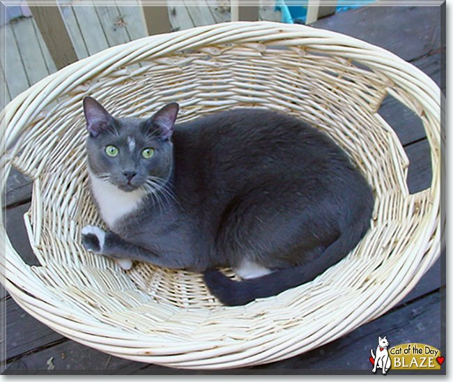 Saturday's Cat of the Day is #handsome Blaze, an #American #Shorthair #kitty #love - read his tale http://catoftheday.com/archive/2019/June/15.html … #catoftheday #cats #catsofinstagram #cat #CatsOfTwitter