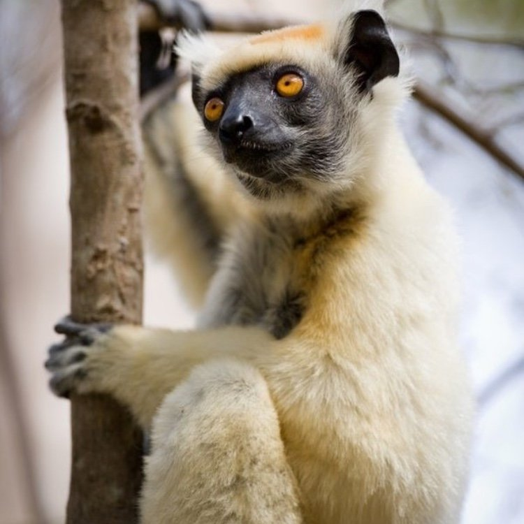 This is a Lemur, also known as a golden-crowned sifaka, and it is currently critically endangered. Critically endangered species have an extremely high risk of extinction in the wild.   The #LionsShare is a deal for nature, it is the Conservation of Hope. 📸: UNDP