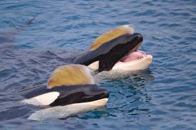 rump's #PrinceOfWhales tweet wasn't carefully orca-strated.   <br>http://pic.twitter.com/N8DqhDopEI