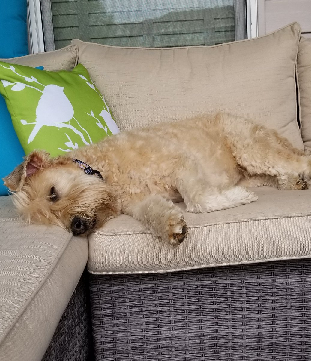 Nothing like a nap outside on a Saturday Afternoon! #relax #weekendvibes #dogs #dogsoftwitter #wheatenterrier<br>http://pic.twitter.com/dLsgy1kDoA