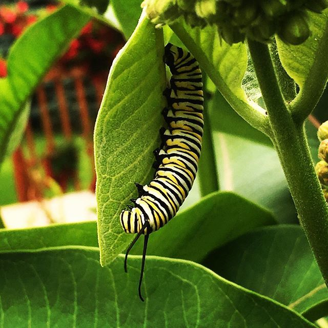 First #monarchcaterpillar of the year!  Glad to know that the milkweed garden is doing its job!! Looking forward to tracking the progress to a #monarchbutterfly over the summer!! #monarch http://bit.ly/31zbG1A
