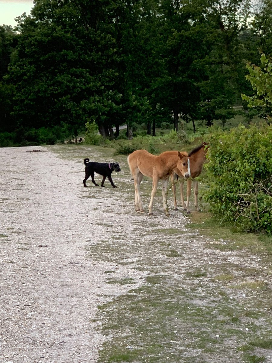 #NewForest one dog intrigued by the foals the other could not care less <br>http://pic.twitter.com/Iw6iouOgAZ