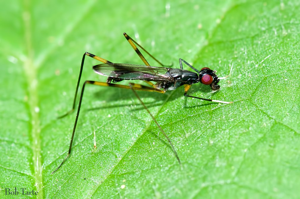 You don't need a ladder to see a Stilt-legged Fly (Micropezidae).<br>http://pic.twitter.com/WezpsQTyYw