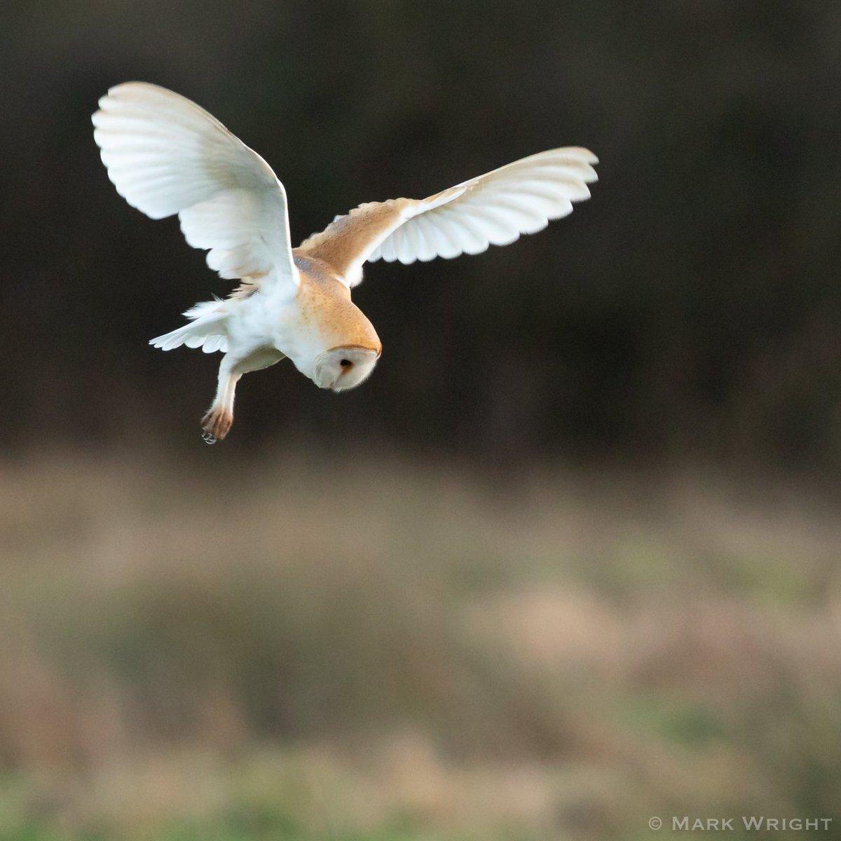 Barn Owl from earlier in the year Dorset @DorsetWildlife<br>http://pic.twitter.com/rTpAeuZVSo