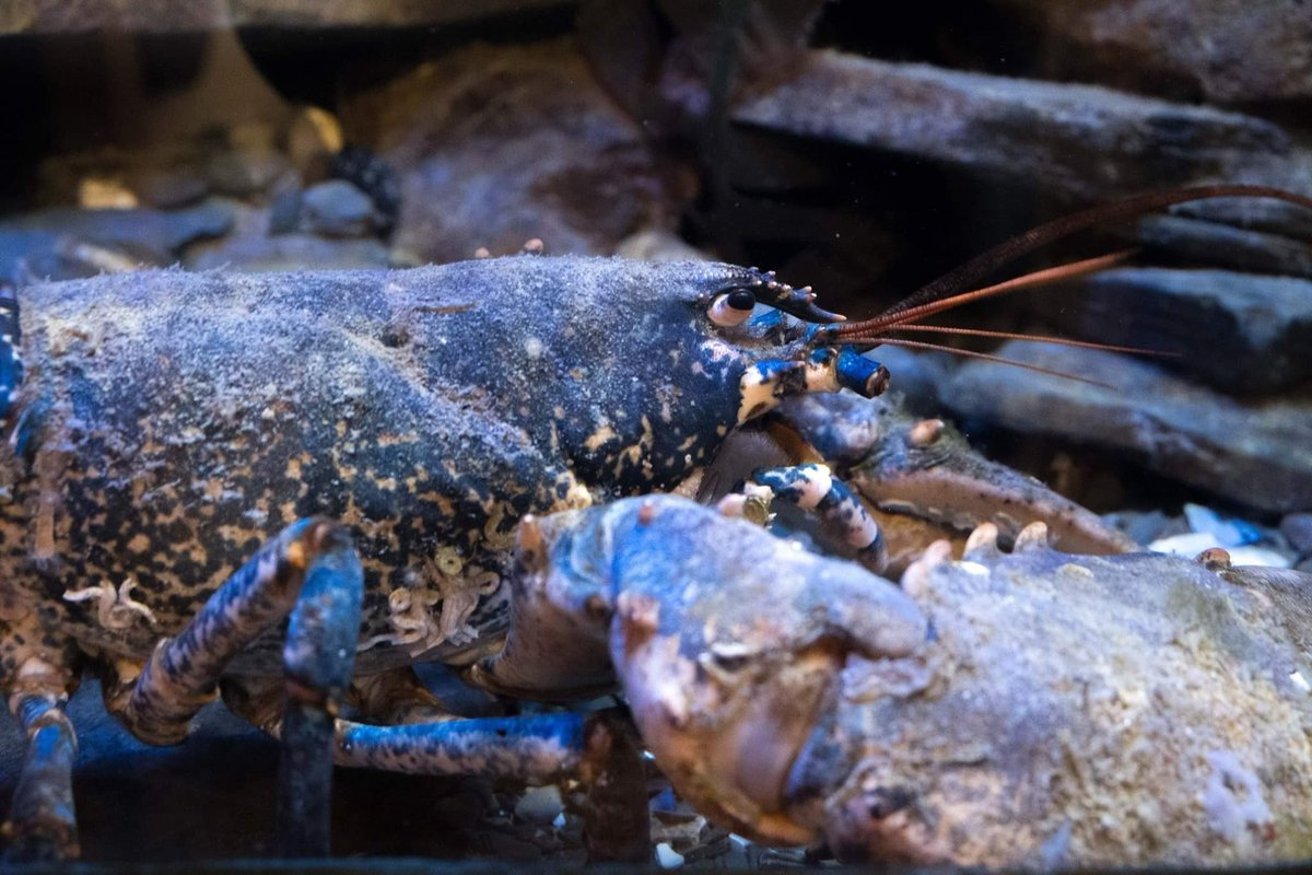 PadstowLobster photo