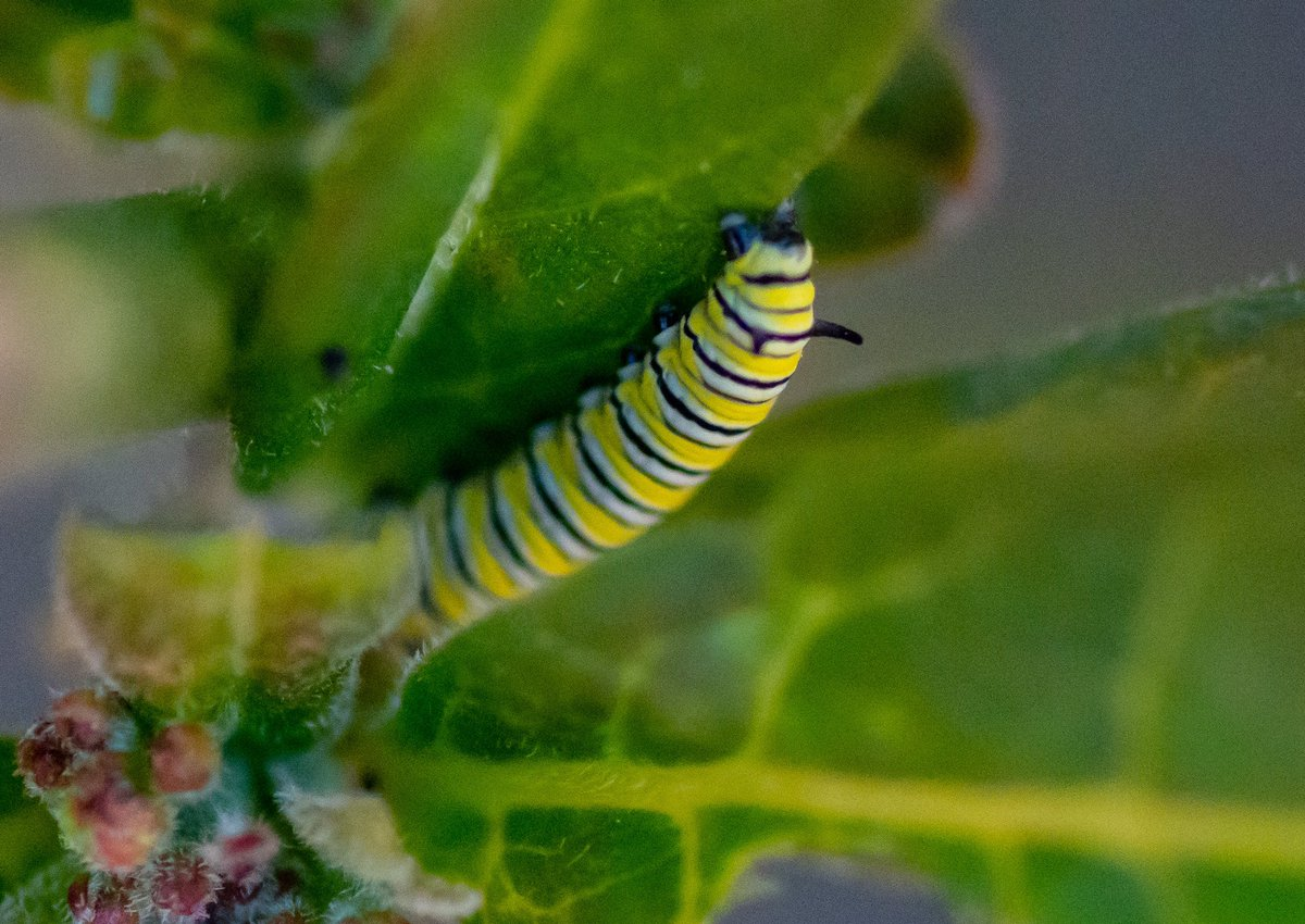The milkweed has Monarch butterfly caterpillars! About half an inch long at the moment #monarchbutterfly #caterpillar #conservationoptimism #earthoptimism