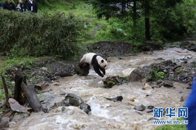 A sick giant panda who was rescued by villagers on April 5 in Jiuzhaigou, SW China's Sichuan Province, returned to the wild Sat after 10 weeks of professional treatment. The female panda was found severely dehydrated and suffering electrolyte disorder back then.