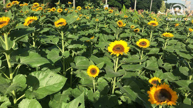 New hopes, new dreams. 🌻  The sunflowers along University Avenue in UP Diliman are now in full bloom.  Since the early 1980's, these sunflowers have graced the school's graduation ceremonies, serving as a yellow backdrop when the graduates march in. 📸 Beth Frondoso/Rappler