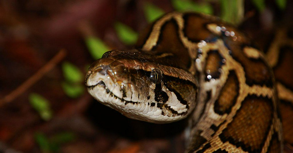 Pythons are invading Florida. Meet the scientists fighting back. http://pops.ci/2Br1yG